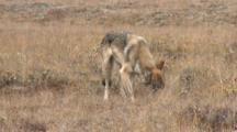 Gray Wolf Catches Eats Arctic Ground Squirrel Tundra Alaska