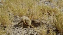 Meerkat Digging For Scorpions.