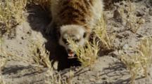 Meerkat Digging Then Eating Scorpion