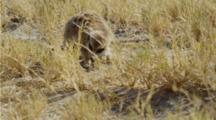 Meerkat Eating Scorpion