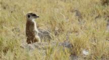 Meerkat Sentinel In The Kalahari.