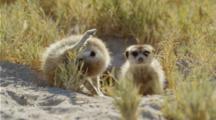 Meerkat Exits Burrow, While Other Meerkat Grooms Itself.