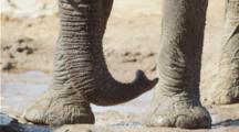 Close-Up Of Elephant Trunk And Feet.