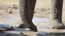 Close-Up Of Elephant Trunk Drinking