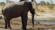 Elephant Drinking, Turns To Shake Head At Warthogs In Background