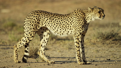 Cheetah (Acinonyx jubatus) - standing in desert then slinks away