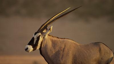 Gemsbok - from side,close shot