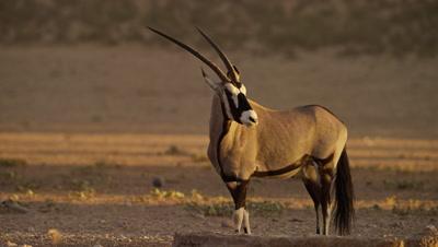 Gemsbok - from side,turns head,medium