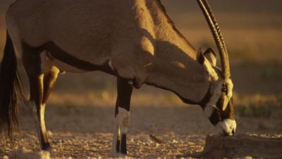 Gemsbok - drinking from waterhole,close shot