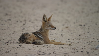 Black-backed Jackal - Lying on sand,looking around.