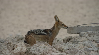Black-backed Jackal - Enters hole then pulls out.
