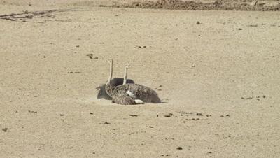Ostrich - pair courtship dance