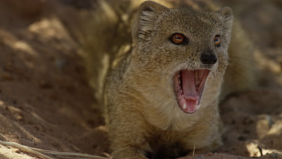 Yellow Mongoose - resting in shade,close,yawns