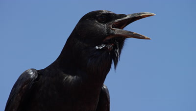 Cape Crow - close up of head,looking around and calling
