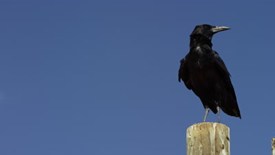 Cape Crow - medium of bird standing on pole