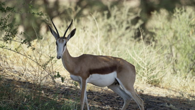 Springbok - pregnant female feeding