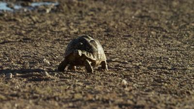 Leopard Tortoise - walking toward camera