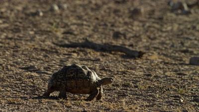 Leopard Tortoise - walking across frame