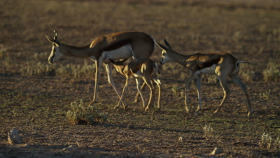 Springbok - baby trying to suckle from mother