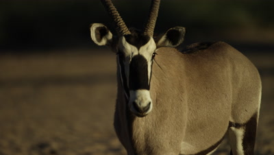 Gemsbok - walks toward camera,startled by birds