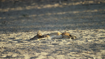 Black-backed Jackal - Wakes up and looks around.