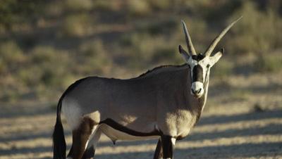 Gemsbok - lone male turns away,close shot