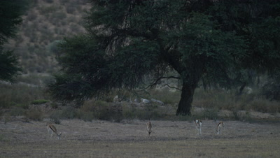 Springbok - herd feeding wide,tree in background