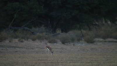 Springbok - single young buck grazing,wide