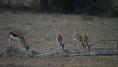 Springbok - herd drinking at waterhole,young run in