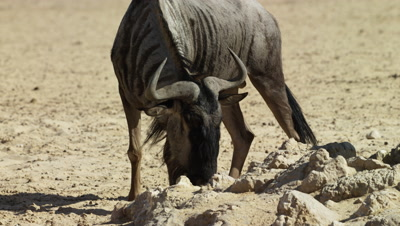 Blue Wildebeest - medium close,looks up from waterhole