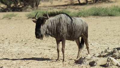 Blue Wildebeest - medium shot,standing