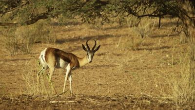 Springbok - grazing under tree