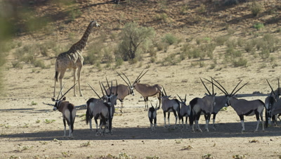 Gemsbok - herd in shade,giraffe behind