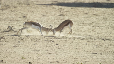 Springbok - pair fighting,day