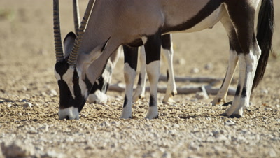 Gemsbok - pair grazing