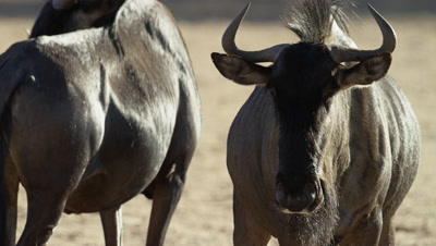 Blue Wildebeest - medium close pair,one looking toward camera