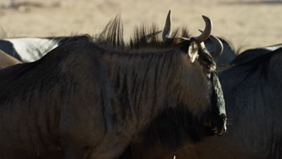 Blue Wildebeest - medium close of herd