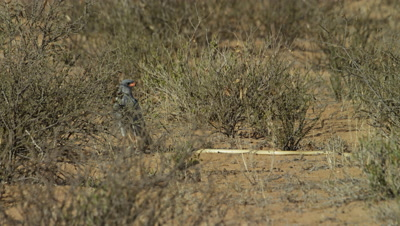 Pale Chanting Goshawk - standing next to Cape Cobra