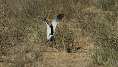 Pale Chanting Goshawk - backs off when Cape Cobra rears
