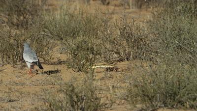 Pale Chanting Goshawk - stalking around Cape Cobra
