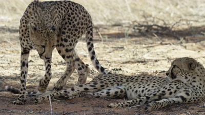 Cheetah - pair lying in shade,one gets up