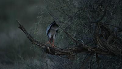 Pale Chanting Goshawk - eating baby Cape Cobra 2