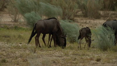Blue Wildebeest - herd grazing in field