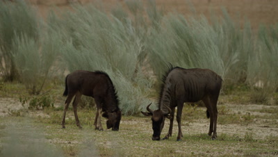 Blue Wildebeest - mother and calf grazing