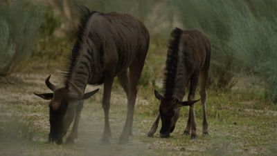 Blue Wildebeest - mother and calf grazing 2