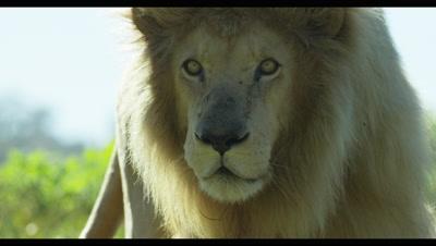 White Lion - walking toward camera,close up