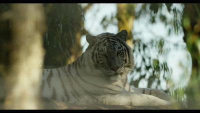 White Tiger - lying down in forest