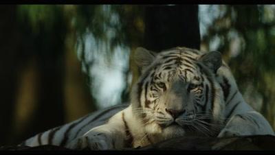 White Tiger - lying down in shade,medium shot