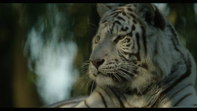 White Tiger - lying down in forest,close shot,lifts head