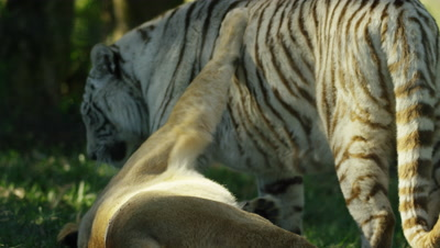 White Tiger - playing with female Lion